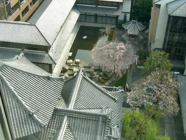 六角堂御幸桜