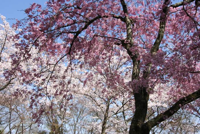 勝持寺の桜