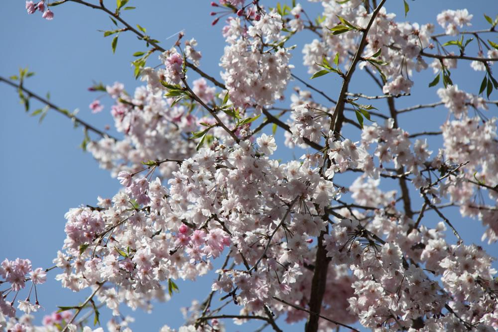 勝持寺の桜と新緑