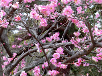 京都御所(御苑)の梅