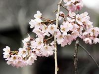 常寂光寺の枝垂れ桜