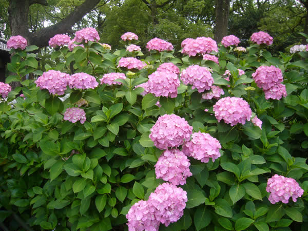 藤森神社の紫陽花
