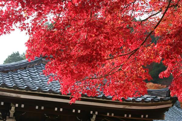 善峯寺の紅葉