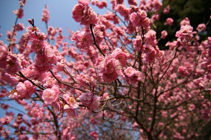 長岡天満宮の梅