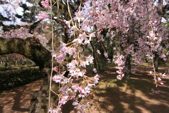 京都御所の桜