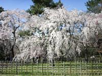 京都御所(御苑)の桜