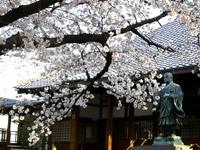 墨染寺の桜